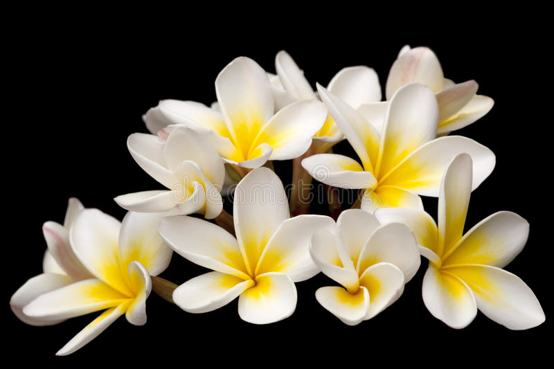 Download Plumeria stock image. Image of isolated, background, tropical - 14855763