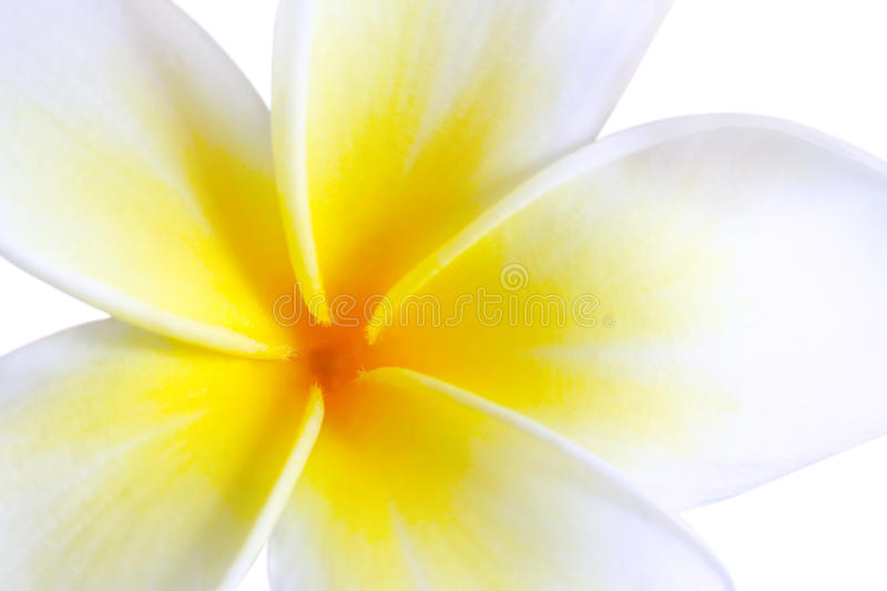 Plumeria. (frangipani), in close-up. Glorious white and golden tropical flower stock images