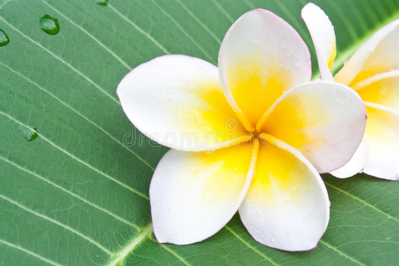 Plumeria. Flower on it's leaf stock image