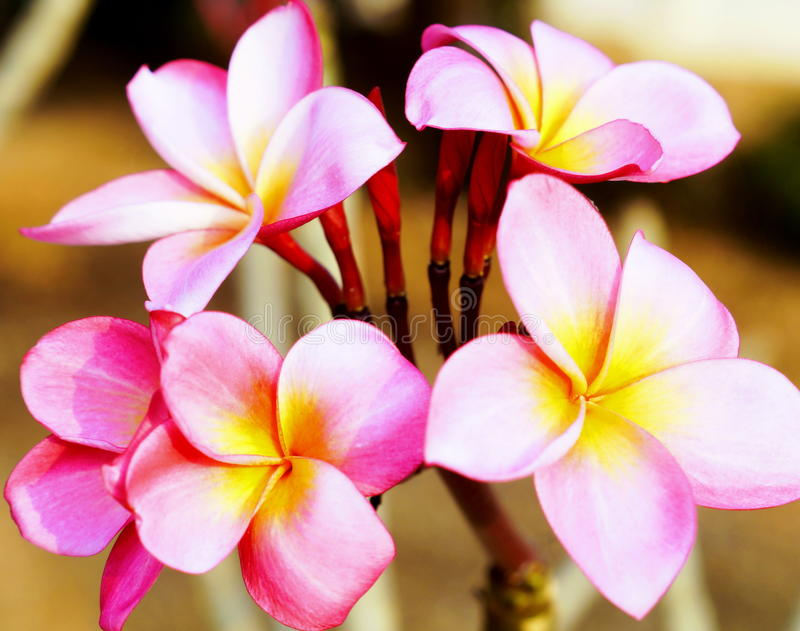 Plumeria. Multicolored Plumeria Flowers in Thailand stock image