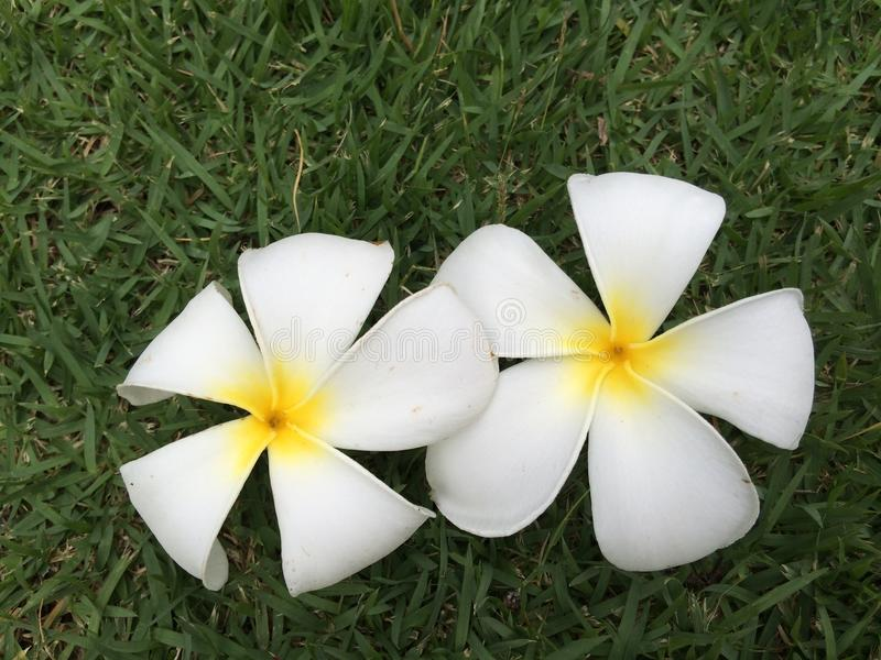 Plumeria royalty-vrije stock foto's