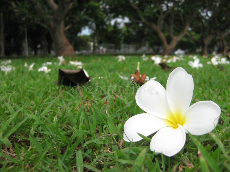 Plumeria zdjęcie royalty free
