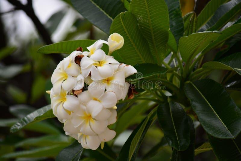Plumeria royaltyfria bilder