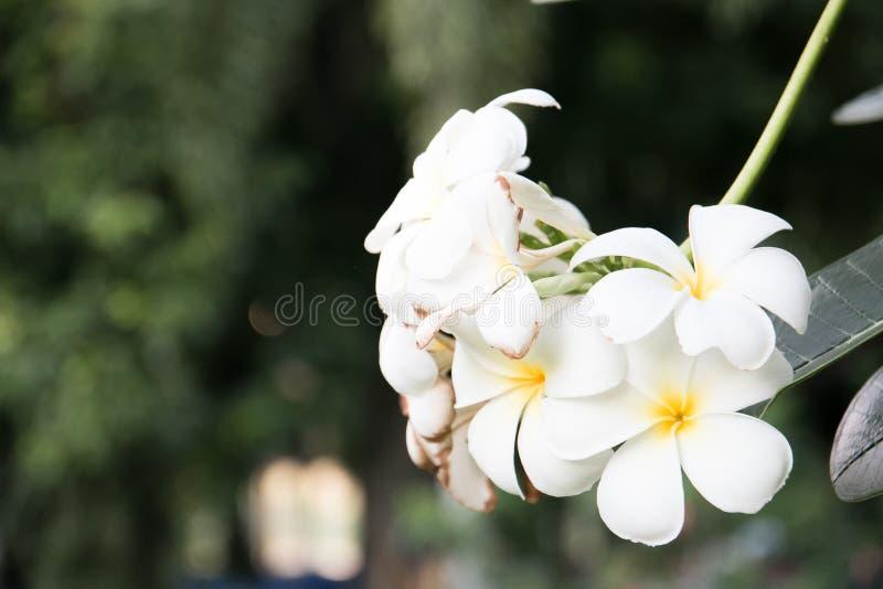 Plumeria stockbild
