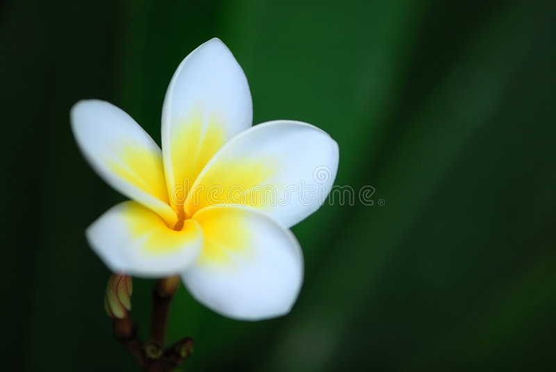 Plumeria. Frangipani (plumeria) flower on a natural green background stock images