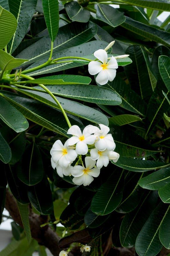 Plumeria royaltyfria foton