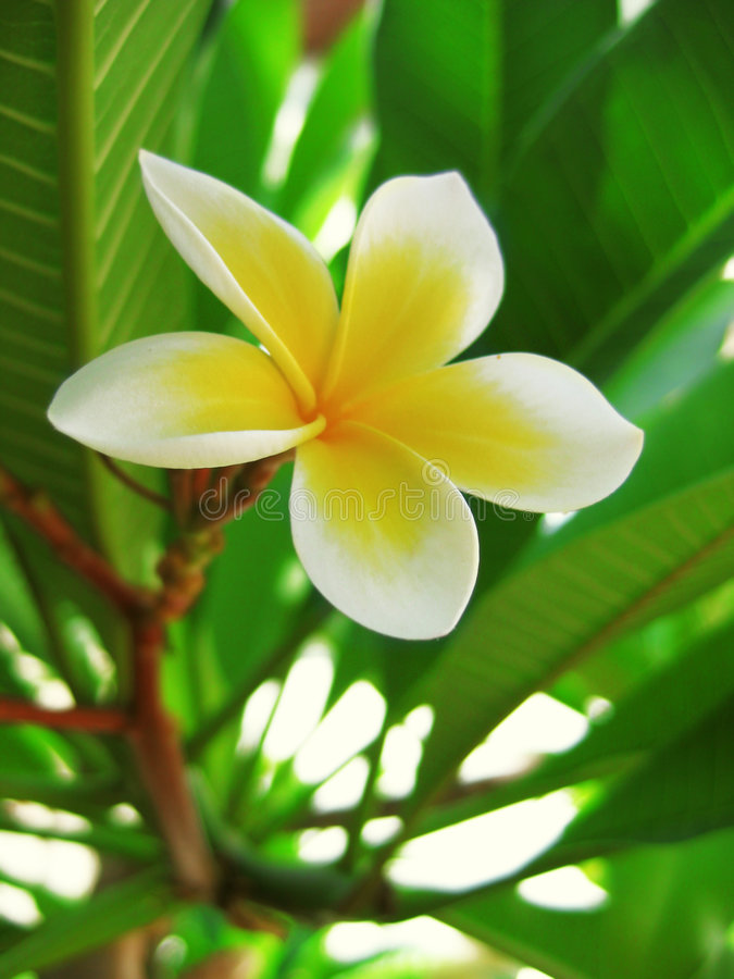Plumeria. Frangiapani (plumeria) flower on green leaves stock image