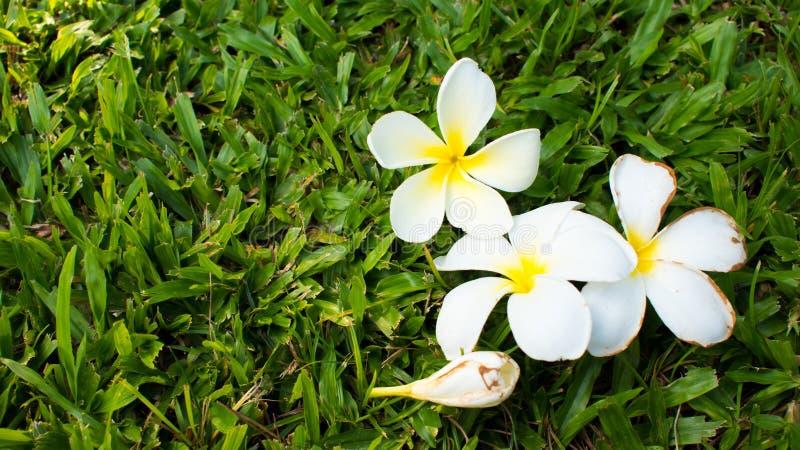 Plumeria 3 стоковое изображение rf