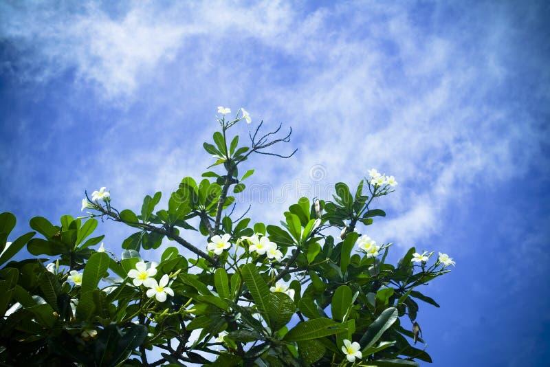 Plumeria alba photo libre de droits