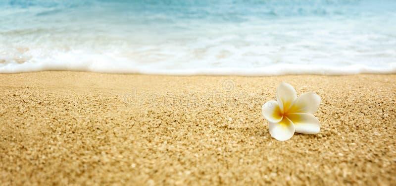 Plumeria alba (Frangipani blanc) sur la plage sablonneuse images libres de droits