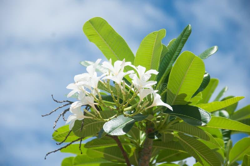 Plumeria auf blauem Himmel lizenzfreie stockfotos