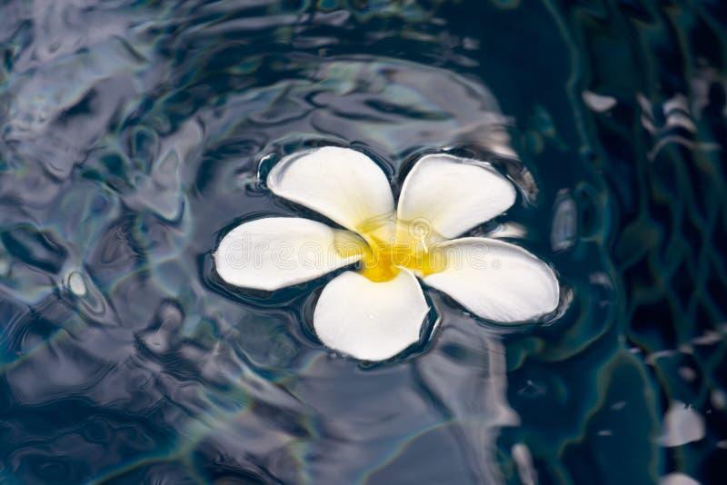 Download Plumeria Auf Wasseroberfläche Stockfoto - Bild von hintergründe, emboss: 27728684