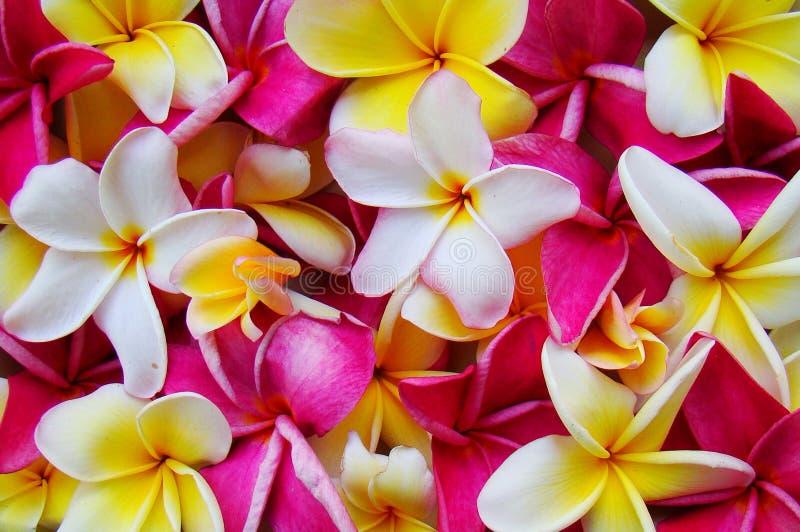 Plumeria Background royalty free stock photo