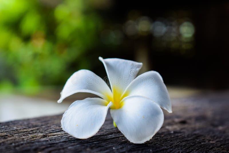 Close up of Plumeria or Frangipani,Spa. Plumeria, Beautiful White Flower on Bokeh Background royalty free stock images