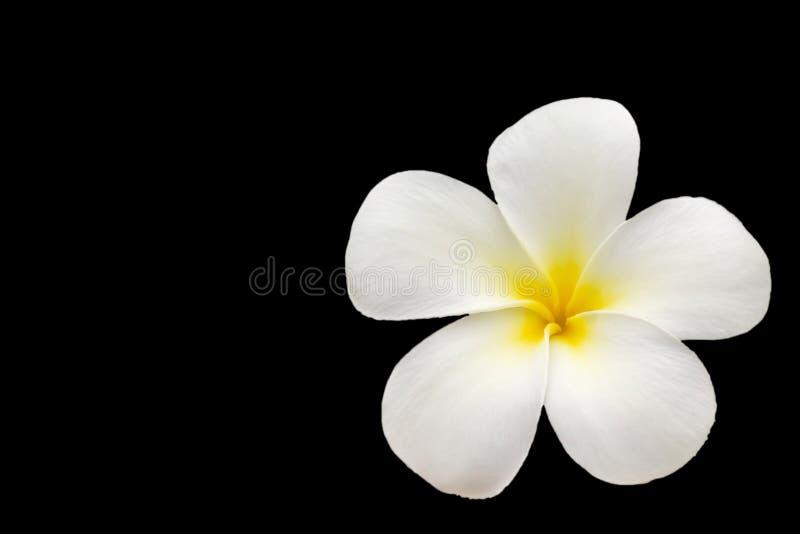 Plumeria biały i żółty kwiat odizolowywający na czarnych tło wi zdjęcie royalty free