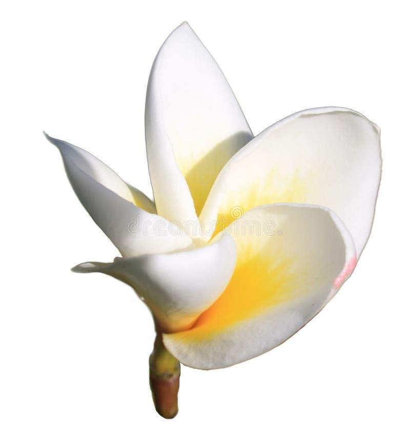 Plumeria bianca immagine stock libera da diritti