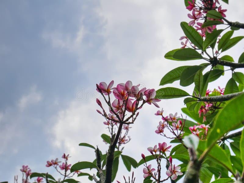 Plumeria bianca e di rosa che fiorisce albero contro il cielo nuvoloso blu con il fuoco selettivo immagine stock