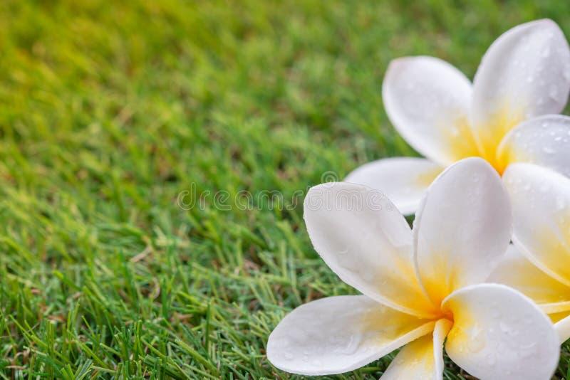Plumeria bianca o fiori del frangipane sul fondo vago dell'erba verde immagini stock libere da diritti