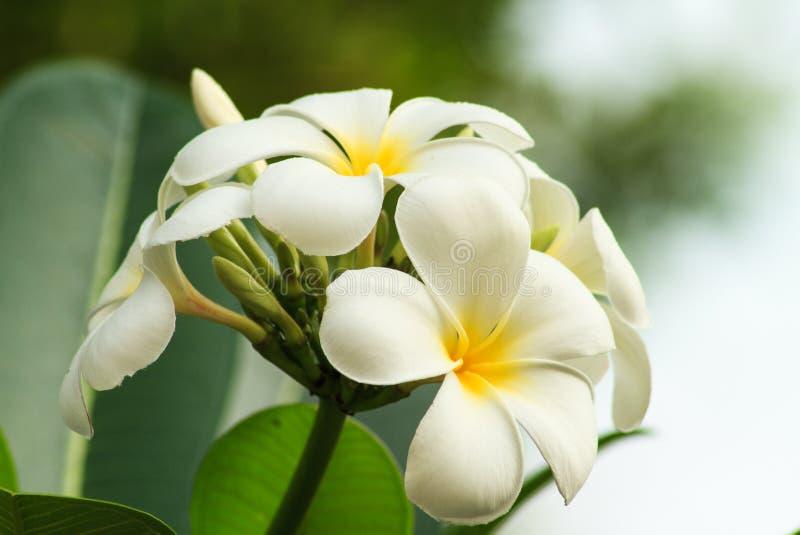 Plumeria biel obraz royalty free