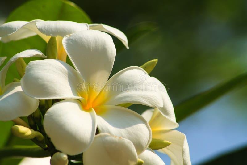 Plumeria biel zdjęcie stock