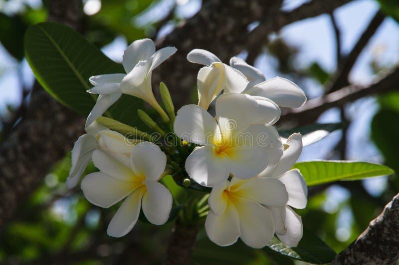 Plumeria biel zdjęcia stock