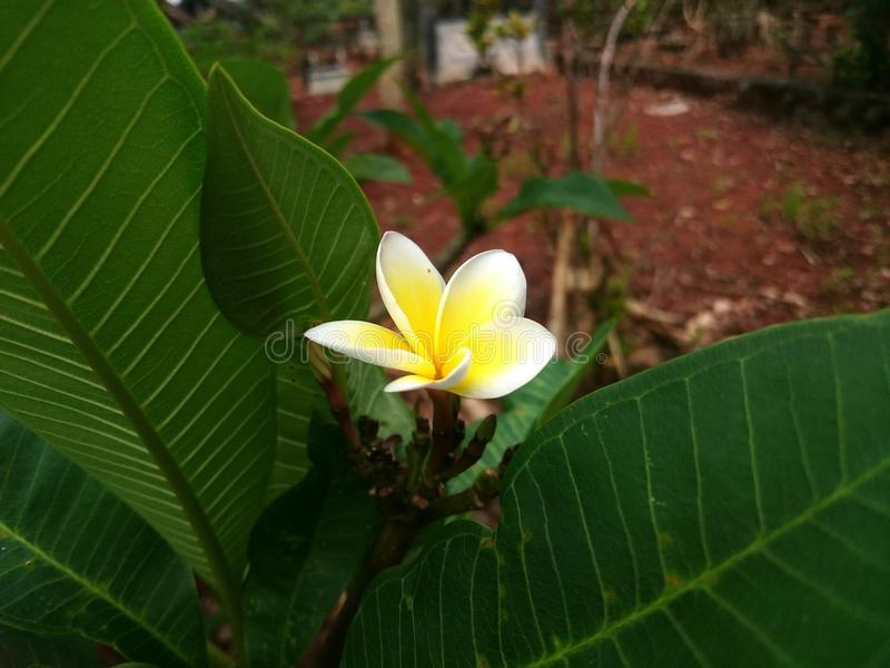 White Plumeria flowers. royalty free stock photo