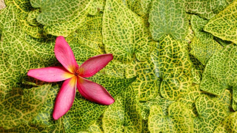 Plumeria blüht auf dem Hintergrund stockfotos
