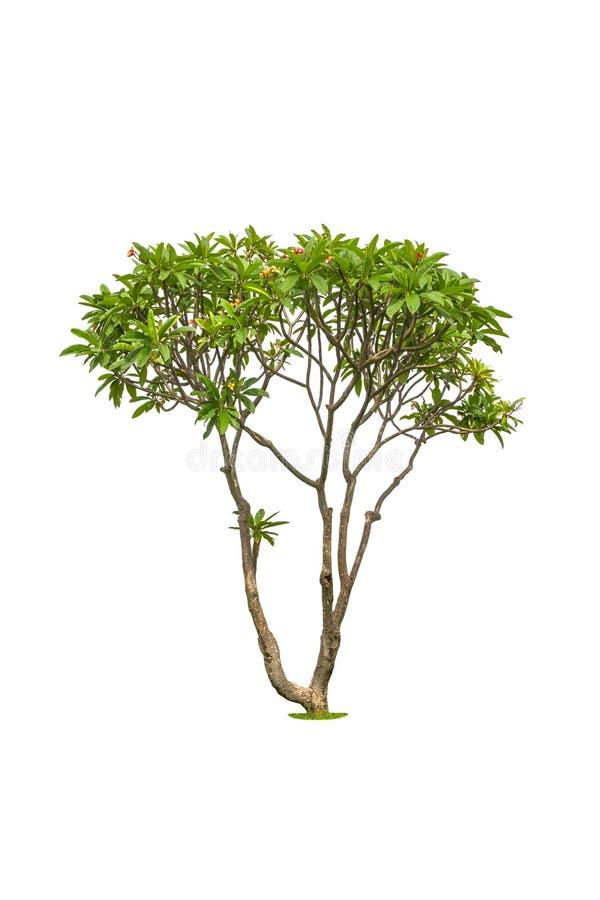Plumeria Blüht Baum Auf Weiß Stockfoto - Bild von schön, wachsen ...