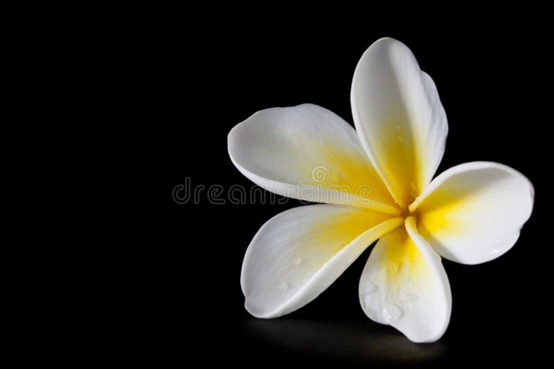Download Plumeria on Black stock image. Image of white, frangipani - 14860807