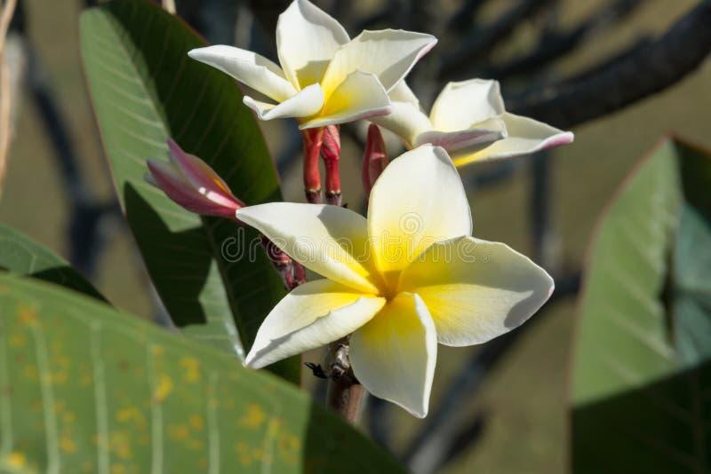 Plumeria blanc fleurissant en nature images stock