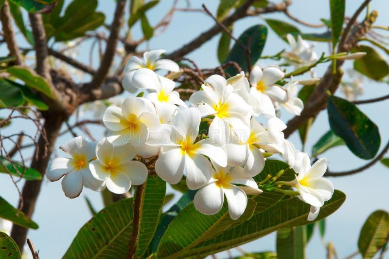 Plumeria blanc Pudica images stock