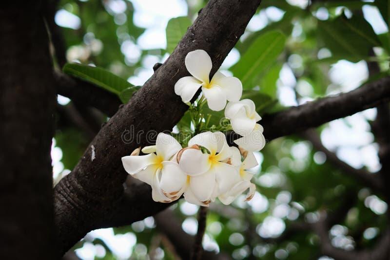 Plumeria blanc sur l'arbre photos stock