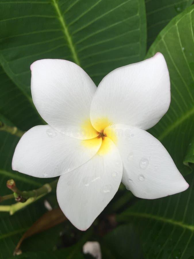 Plumeria blanco imagen de archivo