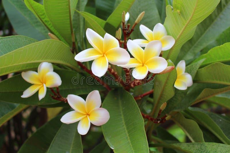 Plumeria blanco alba, árbol decorativo del frangipani con las flores comestibles fotos de archivo