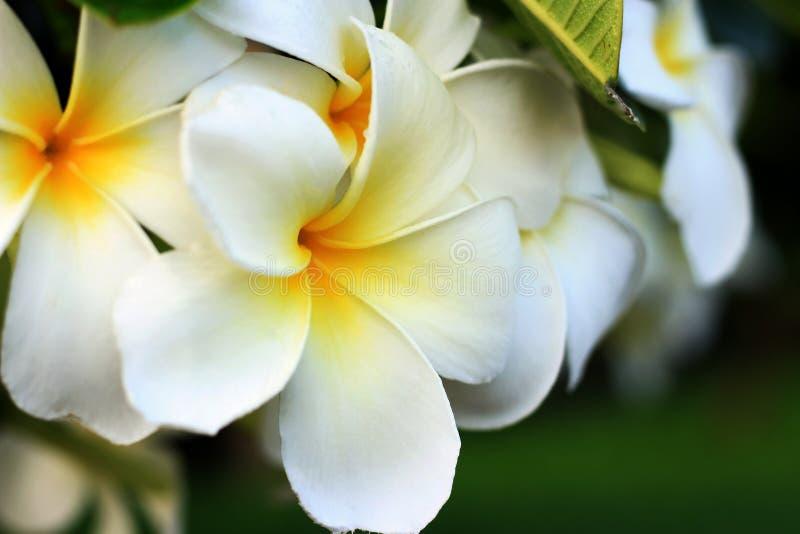 Plumeria blanco en el jardín foto de archivo libre de regalías
