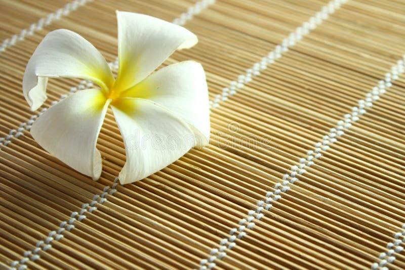 Plumeria blanco (frangipani) fotografía de archivo libre de regalías