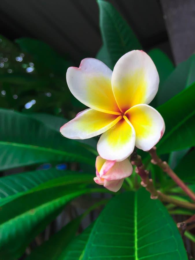 Plumeria blanco y amarillo del primer foto de archivo libre de regalías