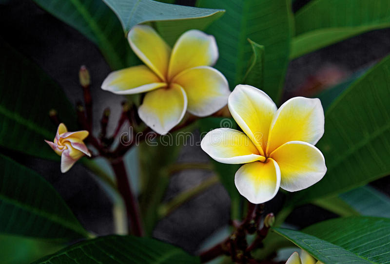 Plumeria Blooms. In flower bed stock photography