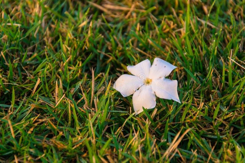 Plumeria Blume auf dem Gras lizenzfreie stockfotografie