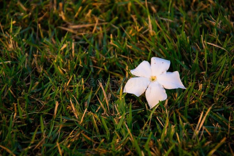 Plumeria Blume auf dem Gras stockfotografie