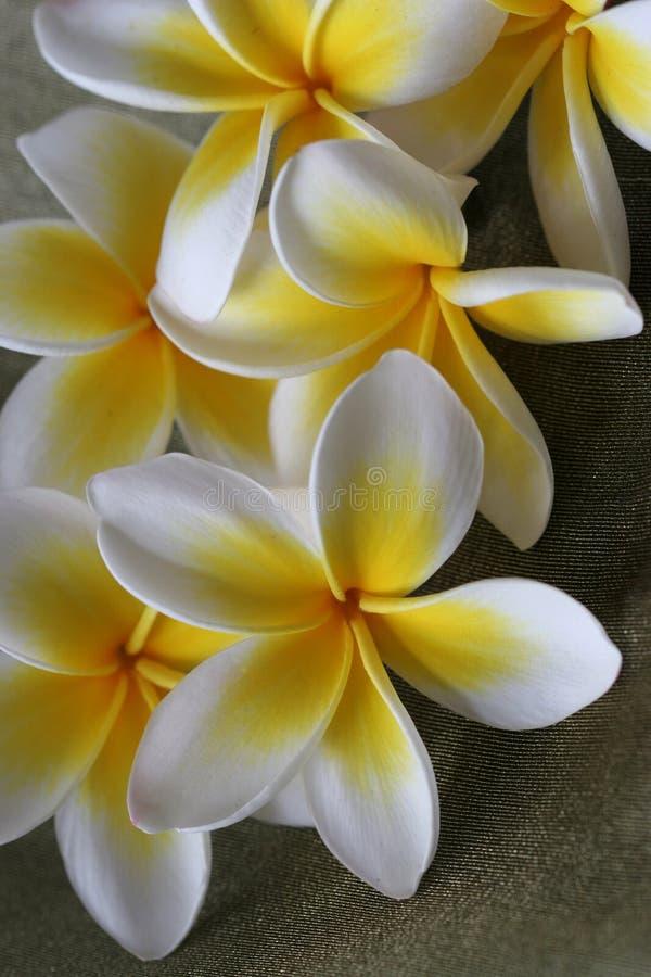 Plumeria-Blumen stockbilder