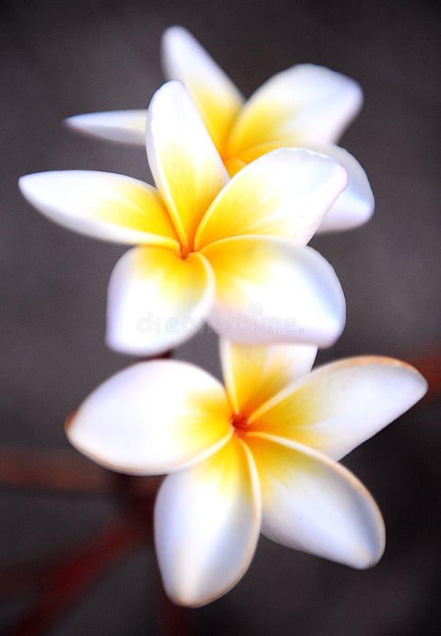 Plumeria-Blumen, 3 einer Art stockbild