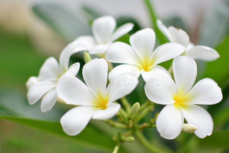 White Plumeria royalty free stock image