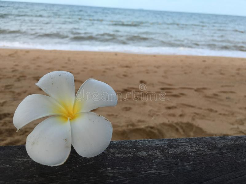 Plumeria branco fotos de stock royalty free