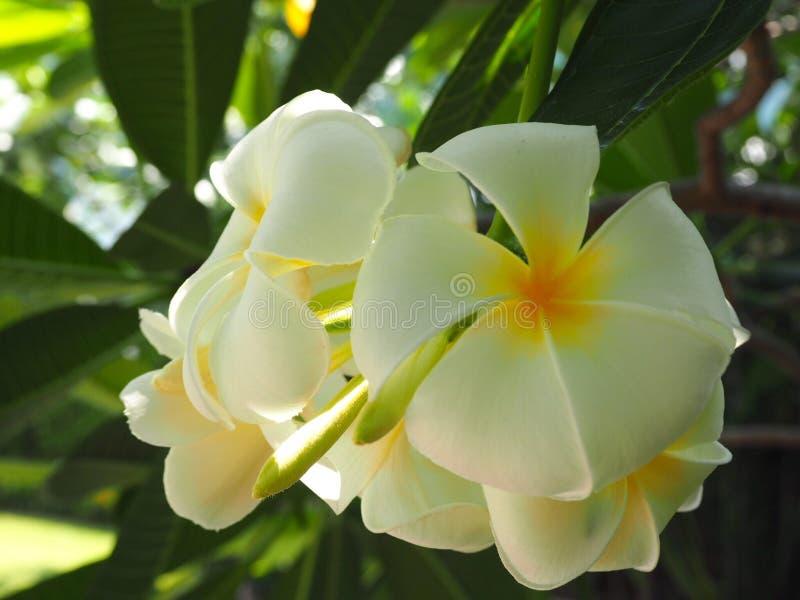 Plumeria branco bonito fotos de stock