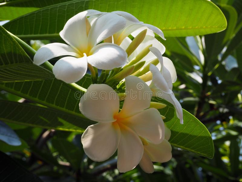 Plumeria branco bonito imagem de stock