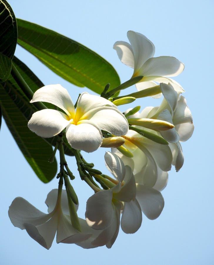 Plumeria branco bonito fotografia de stock