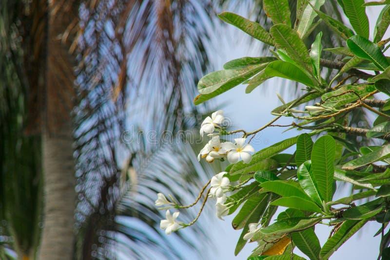 Plumeria branco, flores do frangipani no fundo borrado das palmeiras fotografia de stock