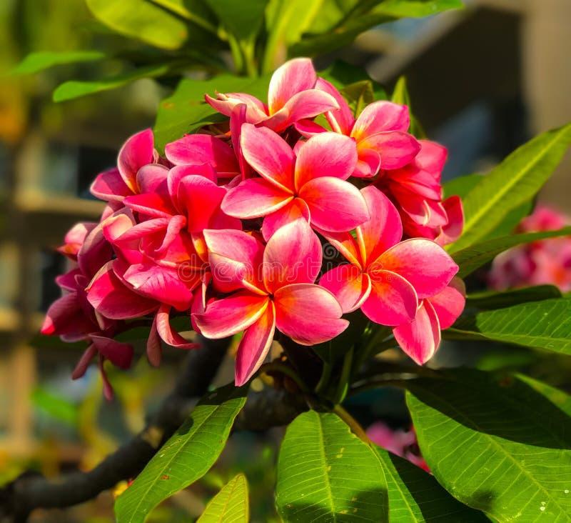 Plumeria cinque fioriture del petalo fotografia stock libera da diritti