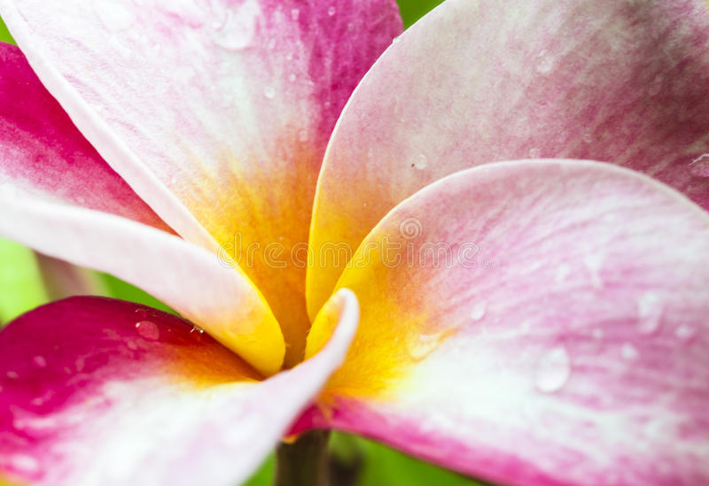 Plumeria. Closeup of a pink and yellow plumeria bloom with dew drops stock photography